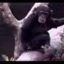 自分のアソコの臭いに失神寸前なチンパンジー