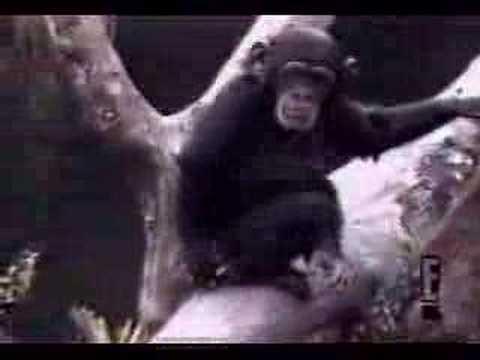 チンパンジーのおもしろ動画