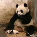 くしゃみにビックリしちゃったパンダのお母さん