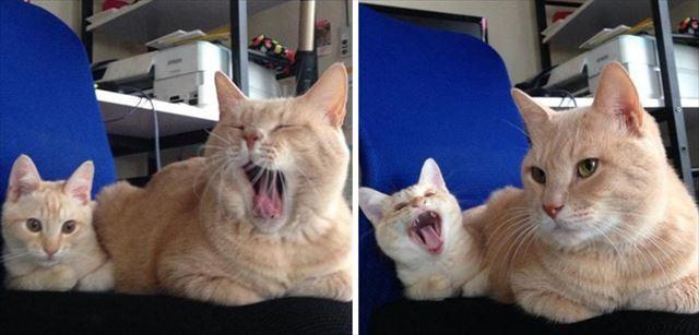 アクビが感染する猫の親子画像