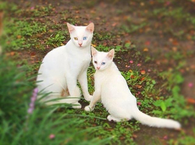 白色の毛も左右違う目の色まで一緒名猫の親子画像