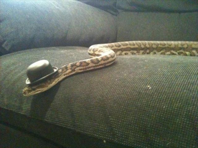 ボーラーハットヘビ