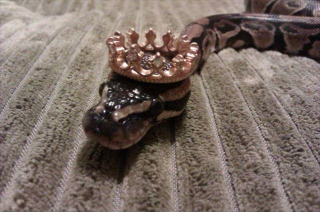 キングヘビ 蛇のコスプレ