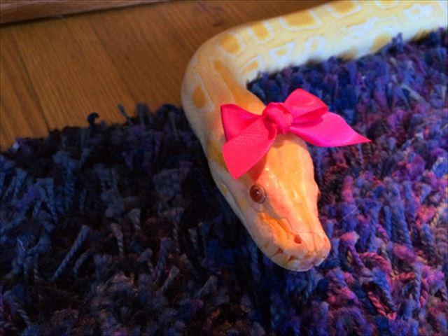 ピンクリボンヘビ 蛇のコスプレ