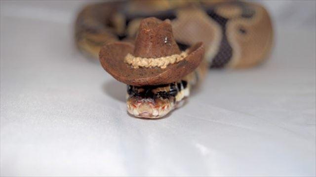 カウボーイハットヘビ 蛇のコスプレ
