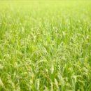 茶碗一杯のお米ができる田んぼ面積は将棋板の広さなんだぞ!