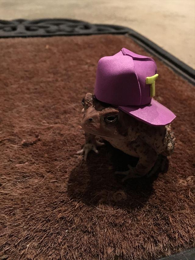 キャップをかぶったヒキガエル