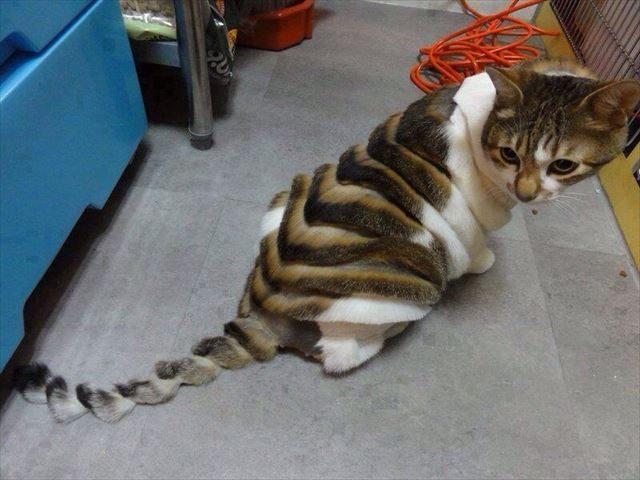 横縞模様にヘアーカットされた猫