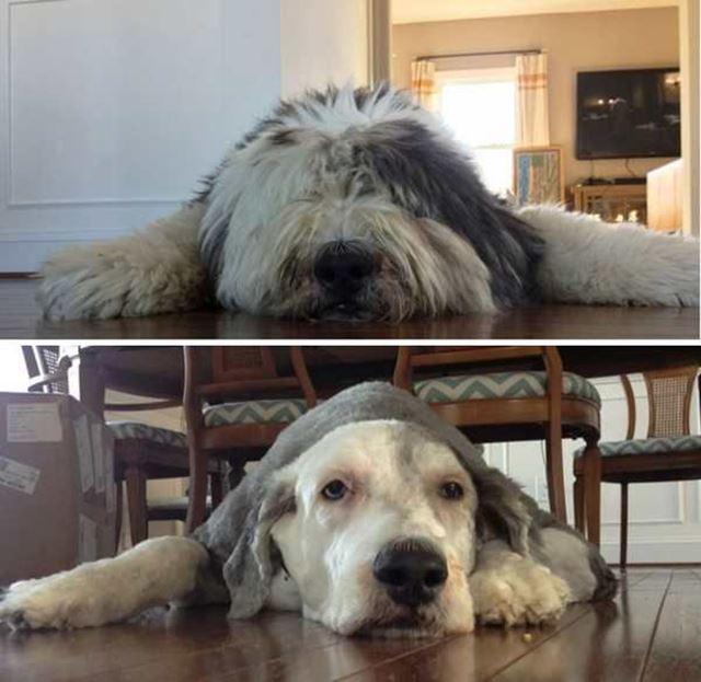 大型犬のトリミング ビフォーアフター
