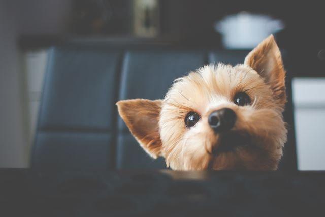 犬のトリミング ビフォーアフター