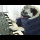 ダイナミックにキーボードを弾くパグが可愛い