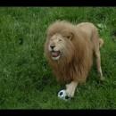 モッフモフのライオンがサッカー選手になったよ
