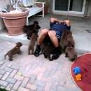 ラブラドール子犬達に襲われる声が高めのオジさん